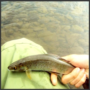 Fly fishing Arctic Greyling